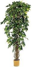 1 plante ficus lianes