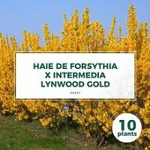 10 Forsythia (Forsythia X Intermedia 'Lynwood