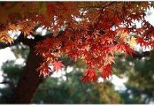 10 Graines d'érable du Japon - jardin arbre