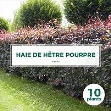 10 Hêtre Pourpre (Fagus Sylvatica Atropurpurea) -