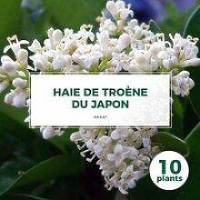 10 Troène Du Japon (Ligustrum Japonicum) - Haie