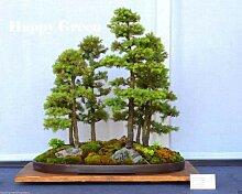 100 graines d'épicéa blanc bonsaï Picea