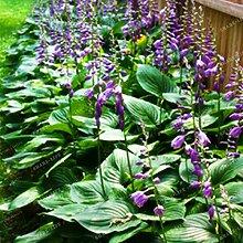 100 Pcs Hosta Graines Vivaces Plantain Lis Fleur