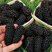 100 Pièces Graines De Fruits Non OGM Fruit Géant
