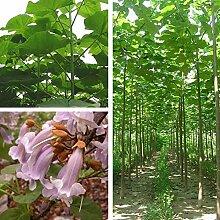 100pcs Graines De Paulownia Plante De Jardin