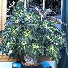 120Pcs / Sac Belle Bégonia, Rare Begonia Graines