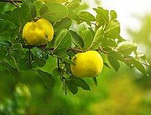 15 Graines de Cognassier - arbre fruitier coing-