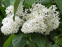 20Arbre Blanc Lilas Colibri Fleur parfumée