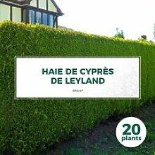 20 Cyprès De Leyland (Cupressocyparis Leylandii)