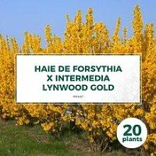20 Forsythia (Forsythia X Intermedia 'Lynwood