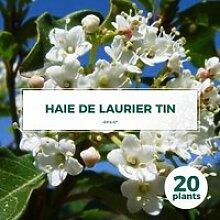 20 Laurier Tin (Viburnum Tinus) - Haie de Laurier