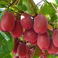 20 Pièces Graines De Kiwi Rouge Actinidia Bonsaï