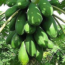 30 pièces graines de papaye pulpe succulente pur