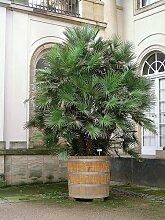 5méditerranéenne européenne palmier Nain