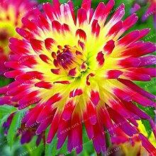 50 Pcs / Sac 100% Vrai Dahlia Fleur Graine jardin