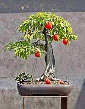 Aamish 100pcs arbre fruitier jujube bonsaï