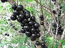 Aamish 10pcs arbre fruitier de raisin brésilien