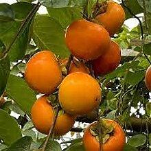 Aamish 20pcs arbre fruitier kaki japonais
