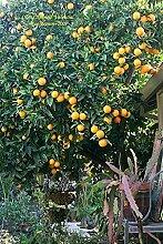 Aamish Arbre fruitier orange de Valence nain 15pcs
