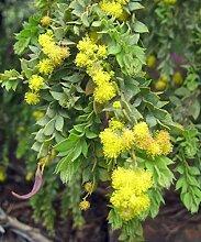 Acacia cultriformis - Knife Leaf Wattle - 25