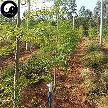 Acheter Moringa Graines de plante Moringa arbre