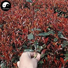 Acheter Photinia Serrulata arbre Graines Plante
