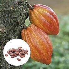 AchidistviQ 20 Pièces Theobroma Cacao Cacao