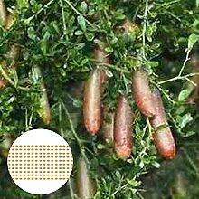AchidistviQ 200 Pièces Citrus Australasica