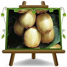 Actinidia - Kiwi Hayward - Femelle - Plante