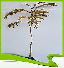 Albizia julibrissin rosea (Arbre à soie) - Plante