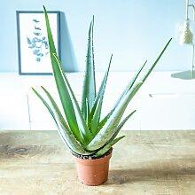 Aloe vera plante d'intérieur facile