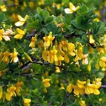 Arbre aux pois - Acacia jaune (Caragana