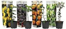 Arbres fruitiers méditerranéens: x8