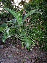 Archontophoenix Alexandrae King Palm 10 graines de