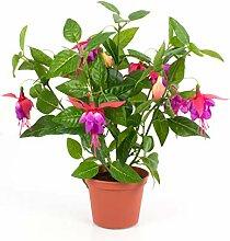 artplants.de Fuchsia Artificiel THAYNARA avec 8