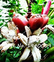 Bloom Green Co. Bonsai 50 Pcs Nain Bananier, Arbre