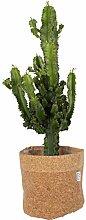 Cactus et plante grasse – Euphorbe cactus en