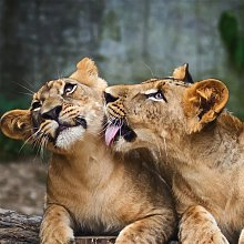 Cadre LIONS G1530 PINTDECOR