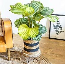Calathea plante d'intérieur tropicale avec