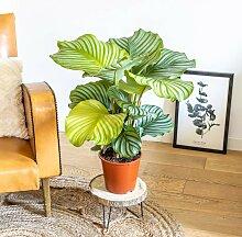 Calathea plante d'intérieur tropicale sans