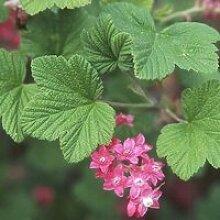 Cassis fleurs (Ribes Sanguineum) Jeune plant en