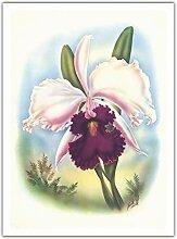 Cattleya Orchidée Blanche Hawaii - La Reine des