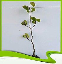 Cercis Siliquastrum (arbre de judas) – Plante