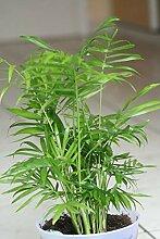 Chamaedorea elegans The Parlour Palm Lot de 20