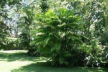 Chamaedorea Tepejilote - Palmier de Pacaya - 10