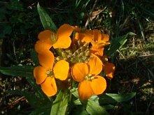 Cheiranthus x allionii - Sibérie WallFlower -