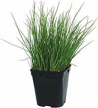 Ciboulette, plante aromatique, pot de 1L