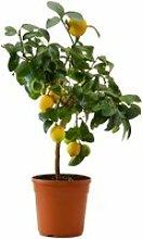 Citronnier en pot - Arbres fruitiers nains -