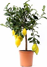 Citronnier en pot   Arbres fruitiers nains  