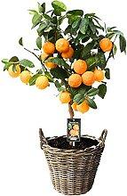 Citrus limon Red Lime | Citronnier vert | Hauteur